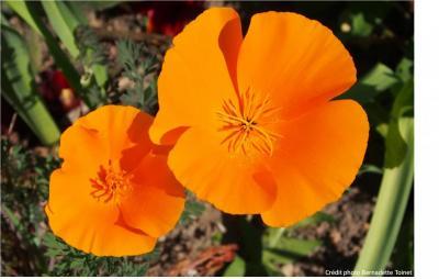 Fleurs de pavot -